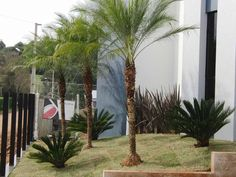 Palmeira Phoenix roebelenii (tamareira anã) muito usada no paisagismo tropical.