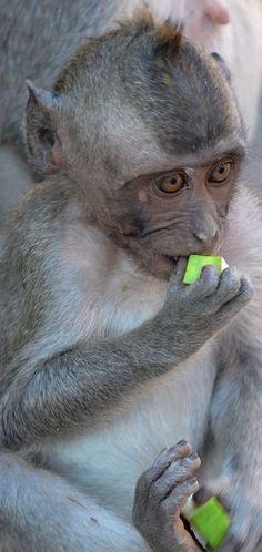 Little monkey @ Uluwatu temple Bali