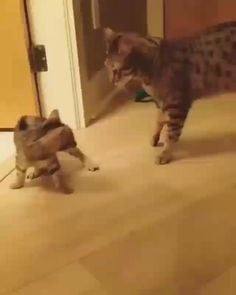Playing with mommy - Cool Cat Tree House Source by cattreehouse videos wallpaper cat cat memes cat videos cat memes cat quotes cats cats pictures cats videos Funny Animal Videos, Cute Funny Animals, Funny Animal Pictures, Cute Baby Animals, Funny Dogs, Animals And Pets, Videos Funny, Cool Cats, Cool Cat Trees