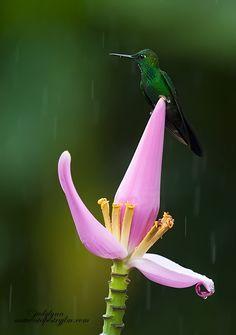 ~~Sitting In The Rain ! by Judylynn Malloch - hummingbird resting on a banana flower~~