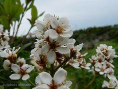 渡具知ビーチで発見しました(^▽^)/ 花って、結構写真におさめるのが難しい・・ でもさすが小橋川さん! 美しく撮れてますね♬ 今週もお疲れさまでした★