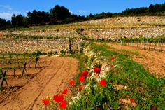 Marges de vinya, Sant Pau d'Ordal, abril de 2014. Foto d'Àngela Llop.