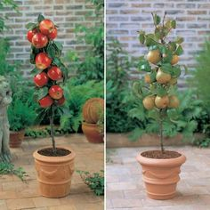 or dwarf red apple, green apple and pear tree. Can only find in the UK. or dwarf red apple, green apple and pear tree. Can only find in the UK. Planting Fruit Trees, Potted Trees, Fruit Plants, Edible Plants, Fruit Garden, Trees And Shrubs, Planting Flowers, Peach Trees, Gardens