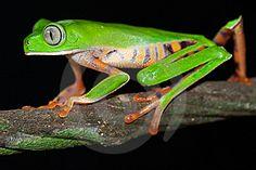rana mono grande | Imagen Libre de Derechos(9750268): Lindo grandes ojos verde rana de ...