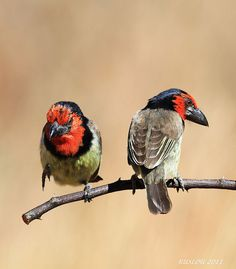Black-Collared Barbets by Ruslou Koorts
