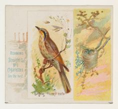 Singing Honey-eater, from the Song Birds of the World series (N42) for Allen & Ginter Cigarettes
