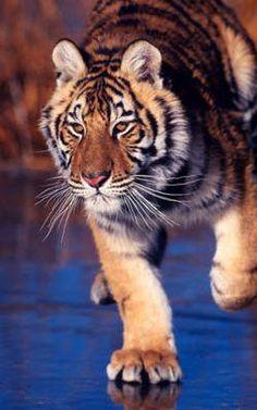 Amur Tiger on lake ice
