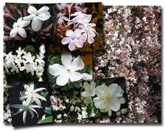 Plant Jasmine and experience the delight of a very fragrant spring and summer garden.