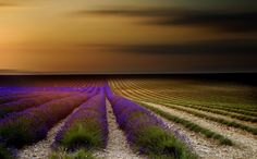 Field rows with violet flowers