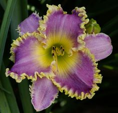 'Sea Monster' Daylily                                                                                                                                                                                 More