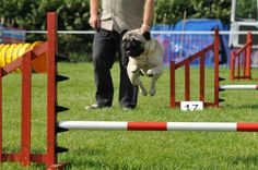 Agility pug. Nice!