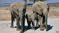Poachers poison 41 elephants in Zimbabwe national park. What an unconscionable, vicious, tragic act.