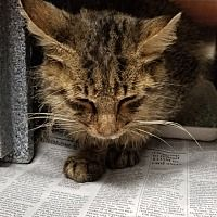 Urgent Kill Shelter Henderson Nc Domestic Mediumhair Meet Dubs A Cat For Adoption With Images Cat Adoption Animal Lover Pet Adoption