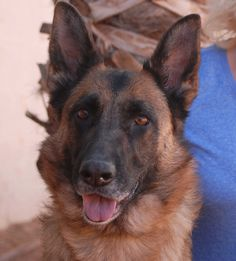 Angela is a resplendent girl eager to become a valued member of a loving family, for life.  She is a gorgeous German Shepherd, 4 years of age and spayed, debuting for adoption today at Nevada SPCA (www.nevadaspca.org).  Angela is intelligent, good-natured, and friendly, and she appears to be compatible with other dogs.  She was at another shelter that asked for our help.  She had been taken there after an officer confiscated her from a home (for reasons unknown).