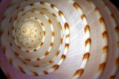 Spiral Shell Wall Mural