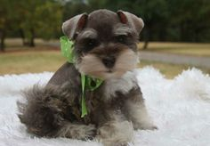 Toy Miniature Schnauzers | Toy, Teacup and Miniature Schnauzer Puppies For Sale - Oklahoma