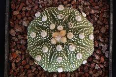 astrophytum asterias cv. ooibo