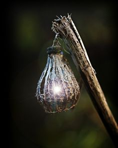 Fairy Lantern...    Decayed poppy seed head..or one from the land of the little people ;-)