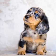Dog Food Protein - Knowing Your Dog Food , Cute Dogs Breeds, Cute Dogs And Puppies, Baby Dogs, Maltese Puppies, Doggies, Dapple Dachshund Puppy, Funny Dachshund, Super Cute Dogs, Cute Little Animals