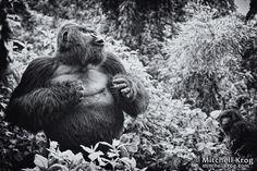 Silverback Gorillas in Rwanda