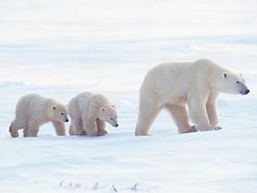 These Drones Could Save the Polar Bears