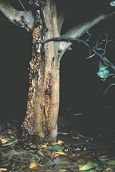 gummosis (pl. gummoses)  : pathologic condition characterized by excessive formation of gums; the products of cell degeneration (Phytophthora cactorum infection resulting in gummosis in a citrus tree)