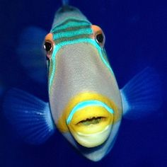 Triggerfish are beautiful to behold, but be careful not to get too close to their nest! http://aquaviews.net/explore-the-blue/trigger-happy/