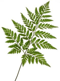 We offer the best prices on wholesale Leather Leaf in NJ and NYC. We are New Jersey and NYC's best wholesale supplier of flowers and foliage. Leave In, Fern Plant, Plant Leaves, Leaves Of Trees, Ikebana, Leather Leaf, Faux Plants, Potted Plants, Tattoo Ideas