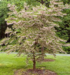 Japanese Snowbell Tree, Styrax japonicus 'Pink Chimes' This pink flowering variety is a dream! all the great traits of white-- small, shade tolerant, pest resistant, cold hardy-- and delightful! Deciduous Trees, Trees And Shrubs, Trees To Plant, Garden Shrubs, Garden Trees, Garden Plants, White Flowering Trees, Pink Trees, Front Entry Landscaping