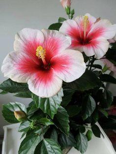 100 Giant Hibiscus Flower Seeds Mixed semenatsvety perennial for sale online Hawaiian Flowers, Hibiscus Flowers, Exotic Flowers, Tropical Flowers, Amazing Flowers, My Flower, Spring Flowers, Beautiful Flowers, Hibiscus Rosa Sinensis