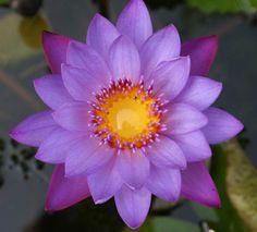 The Sacred Lotus Flower [ Nelumbo nucifera ]