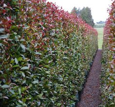 Lilly Pilly Syzygium Hedge