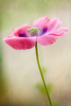 Poppy | Flickr - Photo Sharing!