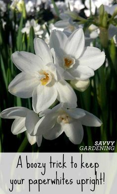 Prevent your paperwhites from flopping Flag Pole Landscaping, Landscaping Tips, Garden Bulbs, Planting Bulbs, Flowers Nature, Beautiful Flowers, Lily Beetle, Organic Soil, Garden Pests