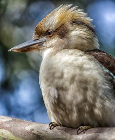 Kookaburra Australian birds animals