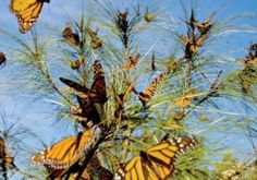 Monarch Butterflies at the Center of a Continent-Wide Conservation Effort - Scientific American