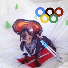 This little dachshund celebrated the Olympics! | Community Post: 25 Adorable Dachshunds On Instagram