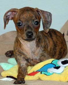 Fidget Dachshund / Whippet / Mixed  : :  Female Current Age: 2 Months 4 Days (best estimate) Good with Dogs, Good with Kids Email:   diane@ulpr.org