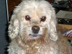 #SENIOR ALERT  #OWNER SURRENDER AFTER 10 YEARS!!  Petfinder  Adoptable | Dog | Spaniel | Westminster, MD | Curly Polly