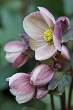 If there's one flower that's both shamelessly promiscuous and awkwardly shy, it's the winter rose, or hellebore. Flora Flowers, Types Of Flowers, Flowers Nature, Beautiful Flowers, Stay Wild Moon Child, Flower Pot Design, Winter Rose, Blossom Flower, Floral Bouquets