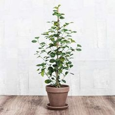 The Best Indoor Plants for Your Office or Home Green Plants, Potted Plants, Indoor Plants, Bonsai, Growing Greens, Interior Design Images, Plants Are Friends, Ficus, Green Life