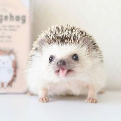 Interested in buying a hedgehog? We've compiled this guide bout taking care of a pygmy hedgehog. It contains facts about hedgehog care and the hedgehog lifestyle. Hedgehog Care, Pygmy Hedgehog, Cute Hedgehog, Hedgehog Treats, Hedgehog Animal, Happy Hedgehog, Baby Animals Super Cute, Cute Little Animals, Cute Funny Animals