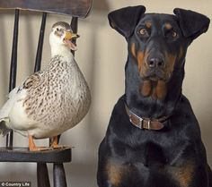 Puddles the duck with Jessie the doberman look happy in each other's company..