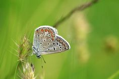 Photo about Polyammatus icarus butterfly with small small eyes. Green background and thin weed waiting to be put on. Elegant and very small butterfly. Image of grass, kar, again - 117873779