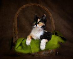 Calico Cat in Basket Photograph  - Calico Cat in Basket Fine Art Print