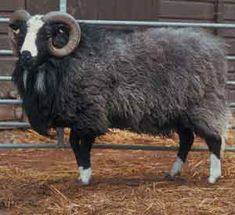 "BALWEN - Welsh for ""white blaze"". The body is dark grey, black or brown and is the only native British sheep with white colouring on the face, socks and tail. For many years the Balwen Welsh Mountain sheep was confined to the counties of Cardigan, Brecon and Carmarthen.  After the harsh winter of 1947, it is thought that only one male Balwen survived. The wool includes some kemp (short, thick, wavy fibres with a white, chalky appearance) which gives knitted garments an interesting texture ."
