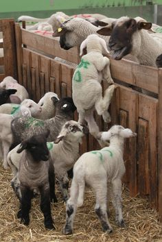 Heartbreaking. Lamb marked for slaughter trying to get back to their mothers. Lamb is an Easter  favorite.