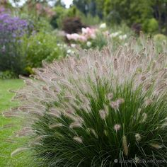 Hameln Fountain Grass - Pennisetum | American Meadows
