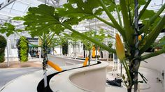 """EPCOT """"Behind the Seeds"""" tour----Squash plants, some with blossoms and fruit, growing hydroponically"""