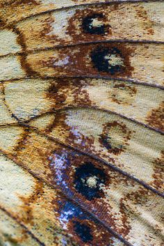 Butterfly wing--Brenthis ino detail